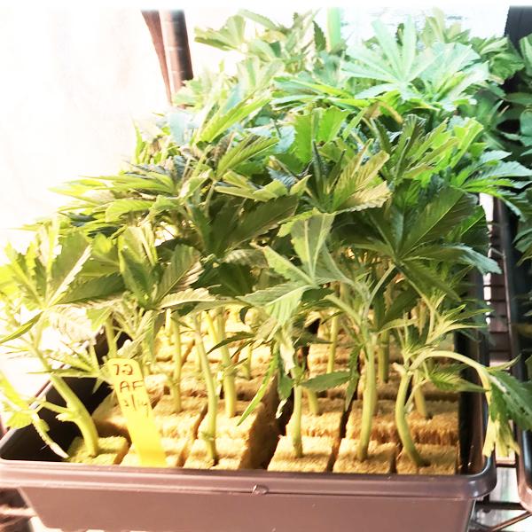 mandarin cookies cannabis seeds