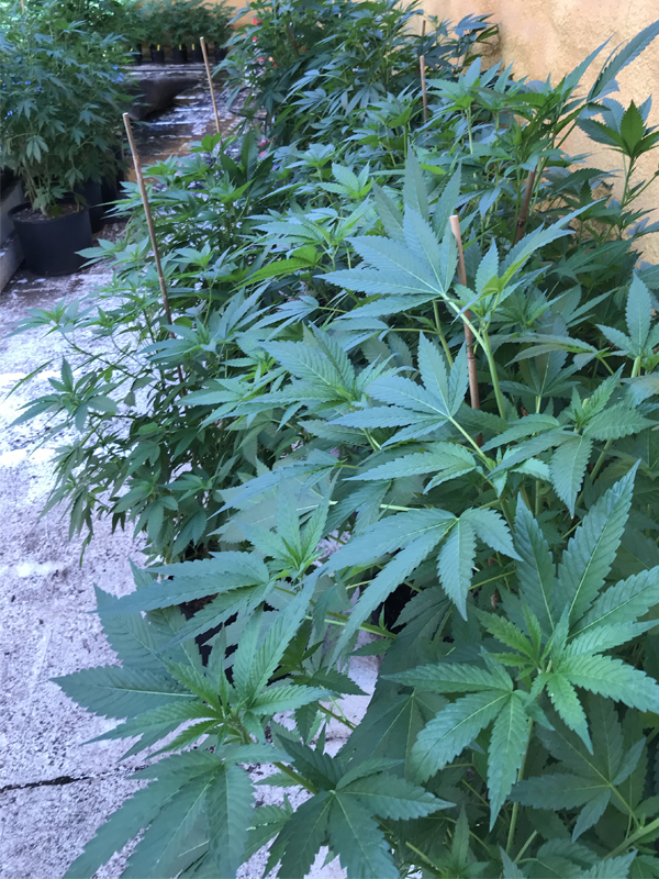 okc marijuana clones for sale